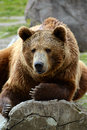 Grizzly bear closeup lounging on a log in yellowstone national park Royalty Free Stock Photos