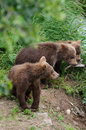 Grizzly bear cubs Stock Photos