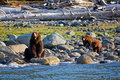 Grizzly Bear with Cubs Royalty Free Stock Photos