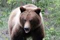 Grizzly bear feeding by the roadside alaska Royalty Free Stock Photos