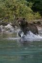 Grizzly bear fishing in alaskan lake Royalty Free Stock Photo
