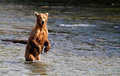 Grizzly bear fishing for salmons in an alaskan river Stock Photography