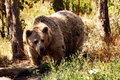 Grizzly bear in the forest Stock Images