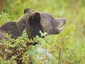 Grizzly bear hiding in rose bush Royalty Free Stock Photography