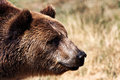 Grizzly bear on the meadow in natural environment Stock Photos