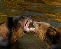 Grizzly bear sow and her yearling cub a play fighting with Stock Image