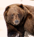 Grizzly bear stare staring into the camera with underside off back paw and sharp claws of front paw in frame and a snowy Stock Photo