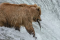 Grizzly bear successfully catches a salmon brook falls alaska jumping upstream at the top of waterfall katmai national park Stock Photography