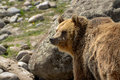 Grizzly bear walking through rocky meadow Royalty Free Stock Photo