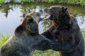 Grizzly bears fight roaring with open mouths in close combat Stock Photography