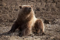 Grizzly Lounging Stock Images