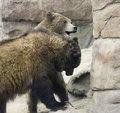 A grizzly pair spar amongst the rocks bear for dominance mountain Stock Image