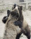 A grizzly pair spar in a zoo cage bear inside the fence of their enclosure Stock Photo