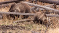 Grizzly sow and cub root for edibles in yellowstone national park wyoming Stock Image