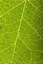 Grön leafmakro Arkivfoto