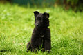 Groendale puppy sitting a black groendendale with cute expressionis in the green grass and is looking to others Royalty Free Stock Photo