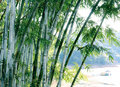 Groene bamboeboom Royalty-vrije Stock Fotografie