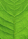 Groene blad dichte omhooggaand Royalty-vrije Stock Afbeelding