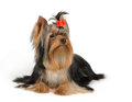 Groomed yorkshire terrier isolated white background Royalty Free Stock Photo