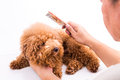 Groomer combing dog, with de-tangled fur stuck on comb Royalty Free Stock Photo