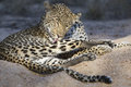 Grooming a female african leopards self with tongue in the sand on river bank Royalty Free Stock Images