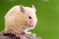 Grooming golden hamster syrian on a rock Stock Image