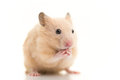 Grooming hamster a golden syrian isolated on white background Royalty Free Stock Photo
