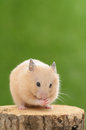 Grooming hamster golden on a tree trunk Royalty Free Stock Photo