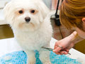 Grooming maltese dog woman cuts a white Royalty Free Stock Photos