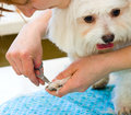 Grooming maltese dog woman cuts a white Stock Photos