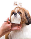 Grooming the shih tzu dog isolated on white Stock Photos