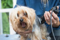 Grooming Yorkshire terrier. Dog has open mouth. Royalty Free Stock Photo