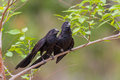 Groove billed ani a pair of anis on a branch Stock Images