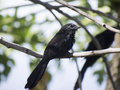 Grooved billed ani standing on a branch tree Royalty Free Stock Photos