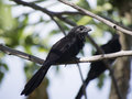 Grooved billed ani standing on a branch in tree Royalty Free Stock Image