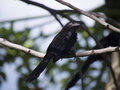 Grooved billed ani standing on a branch in tree Stock Photography