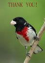Grosbeak thank you card rose breasted Royalty Free Stock Image