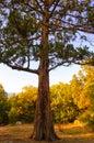 Grote pijnboomboom in autumn forest Royalty-vrije Stock Foto's