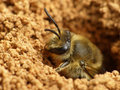 Ground bee emerging closeup of a coming out of its hole Royalty Free Stock Photography