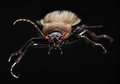 Ground beetle carabus beetles are carnivorous and actively hunt for any invertebrate prey they can overpower Royalty Free Stock Photos