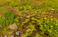Ground cover Glacier National Park Royalty Free Stock Photo