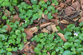Ground cover growing through dead leaves Royalty Free Stock Photo