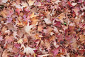 Ground covered with liquidambar sweetgum leaves Royalty Free Stock Images