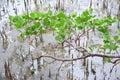 Ground curve tree Royalty Free Stock Photo