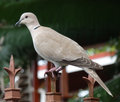 A ground dove in the caribbean pigeon like perched on gate at belmont house bequia Royalty Free Stock Photo