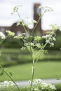 Ground Elder flower with church tower as backdrop Royalty Free Stock Photo