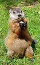 Ground hog close up of a on grass eating a peanut Stock Image