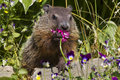 Ground hog day a groundhog eating a flower in the springtime Royalty Free Stock Images