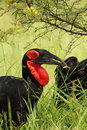 Ground Hornbill Royalty Free Stock Photo