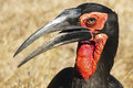 Ground Hornbill Stock Photo